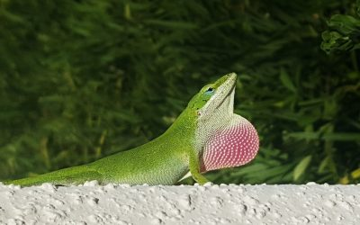 Lizards in Myrtle Beach?