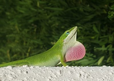 Green Anole Tthroat Fan Extended