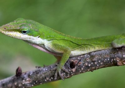 Carolina Anole Green Morph