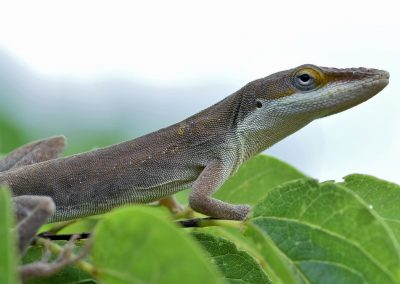 Carolina Anole Brown Morph