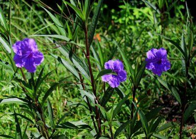 blue spider Worts near Conway SC